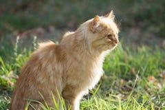 姜猫本质上 免版税库存图片