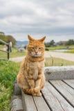 姜猫 免版税图库摄影