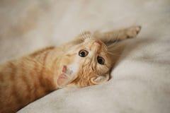 姜猫 图库摄影