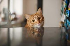 姜猫 库存图片