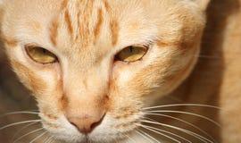 姜猫 免版税库存照片