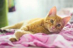姜猫 库存照片