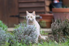 姜猫playin在庭院里 库存照片