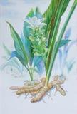 绘姜的原始的现实草本水彩 图库摄影