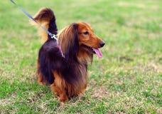 姜红色和黑德国獾狗 库存照片