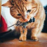 姜红色猫捉住了一只鸟 库存图片