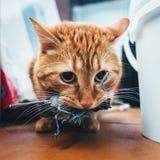 姜红色猫捉住了一只鸟 免版税图库摄影