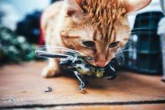 姜红色猫捉住了一只鸟 库存照片