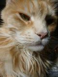姜缅因树狸猫 库存照片