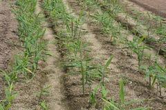 姜耕种 免版税图库摄影