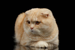 姜苏格兰人折叠在黑色隔绝的猫谎言 免版税库存照片