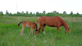 姜马吃草本质上的母亲和马驹家庭  影视素材