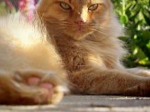 姜,长发猫在阳光,关闭下 免版税图库摄影