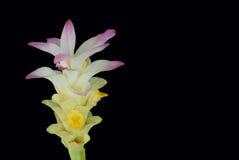 姜, Cassumunar姜,姜科,与孤立的花抽象软的焦点黑背景 地方食物和Tha 库存照片
