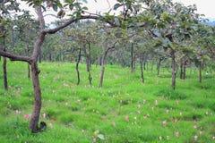 姜黄alismatifolia桃红色花  库存照片
