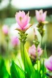 姜黄sessilis泰国热带森林在庭院里 库存照片