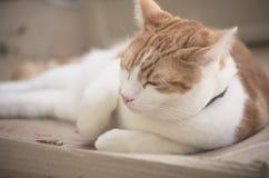 姜Tomcat 免版税库存图片