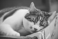 姜Tomcat 免版税图库摄影