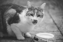 姜Tomcat 库存图片