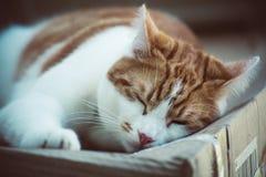 姜Tomcat 免版税库存照片