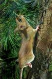姬鼠属flavicollis鼠标收缩的木黄色 免版税库存照片