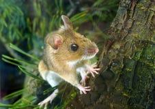 姬鼠属flavicollis鼠标收缩的木黄色 库存图片