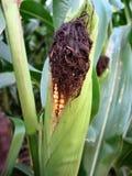 威严的玉米 免版税库存图片