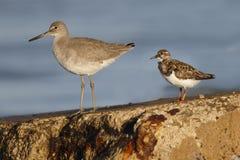 威利特和翻石鹬在防波堤-佛罗里达栖息 免版税库存照片
