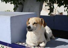威士忌酒,Puerto Naos自由生存狗  免版税库存图片