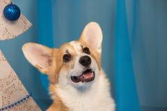 威尔士与s的小狗彭布罗克角一只美丽的狗小狗的画象  免版税库存图片