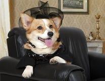 威尔士坐在一把黑椅子的小狗彭布罗克角 图库摄影
