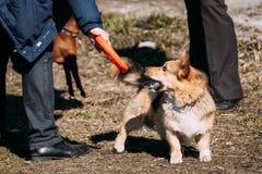 威尔士小狗与室外的飞碟的狗戏剧 免版税库存图片