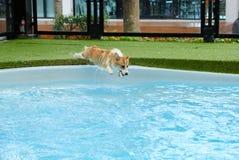 威尔士小狗克服对跳进的恐惧的狗成功游泳场夏天周末 小狗小狗是愉快跳进 免版税库存照片