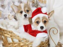 威尔士小狗在圣诞老人服装的彭布罗克角小狗 免版税库存照片