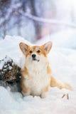 威尔士小狗在森林里在冬天 免版税库存照片