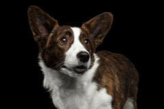 威尔士小狗在被隔绝的黑背景的羊毛衫狗 免版税图库摄影