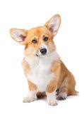 威尔士小狗彭布罗克角在白色backgr隔绝的前面的演播室 库存照片