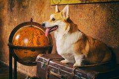 威尔士小狗彭布罗克角坐一个棕色箱子 免版税库存图片