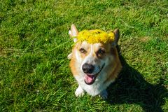 威尔士小狗彭布罗克角室外使用在夏天 图库摄影