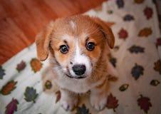 威尔士小狗彭布罗克角小狗 免版税库存照片