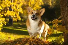 威尔士小狗彭布罗克角狗 库存照片