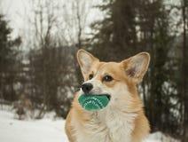威尔士小狗彭布罗克角画象  库存图片