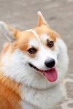 威尔士小狗微笑 库存照片