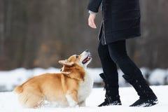 威尔士小狗狗在冬天 库存照片