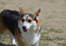 威尔士小狗狗的可爱的面孔 免版税库存图片