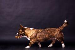 威尔士小狗羊毛衫 免版税库存照片