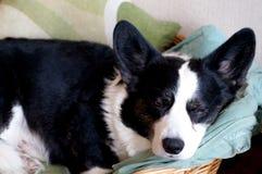 威尔士小狗羊毛衫 图库摄影