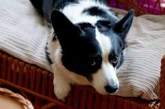 威尔士小狗羊毛衫 免版税库存图片