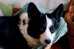 威尔士小狗羊毛衫 库存照片