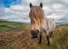威尔士小马头发 免版税图库摄影
